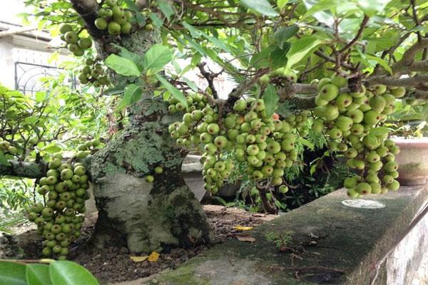 Cây Sung là cây thân gỗ khá cao với đường kính thân có thể đạt đến 90cm