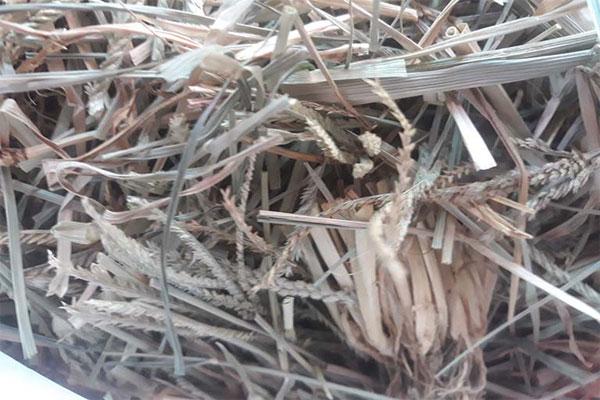 Cỏ mần trầu là loài cỏ dại mọc ở nhiều nơi tại Việt Nam cũng như trên thế giới.