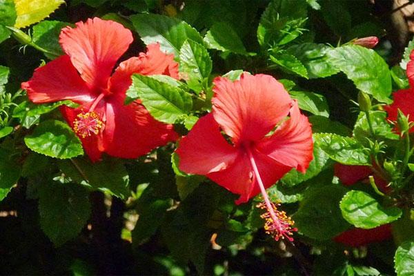 Hoa của cây khá to, màu đỏ, có 5 cánh với nhiều nhị ở tụ đài