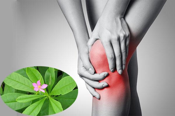 Đau nhức xương khớp cũng có thể sử dụng cây sâm đất