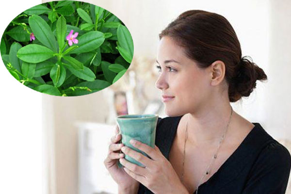Uống nước cây sâm đất giúp trị tiểu đường