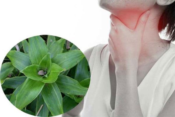 Cây Lược vàng giúp điều trị viêm họng nếu bạn biết dùng đúng cách