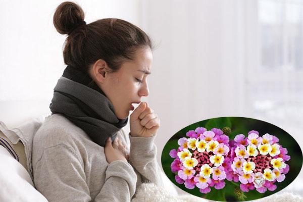 Dùng hoa ngũ sắc để điều trị chứng ho do trời lạnh