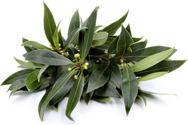 Điều kiện của nước ta dễ dàng gieo trồng loại thảo dược này để làm cây cảnh, dược liệu hay gia vị nấu ăn