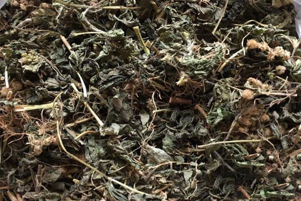 Cỏ ngũ sắc khô phải được bảo quản trong túi nilon kín, đặt tại nơi thoáng mát