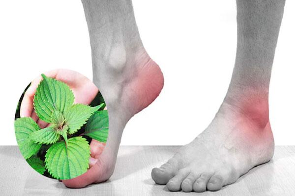 Dược liệu này có khả năng ức chế sản sinh acid uric, nhờ vậy làm giảm triệu chứng Gout đáng kể
