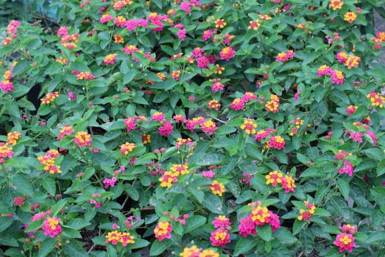 Cây hoa ngũ sắc chữa viêm xoang