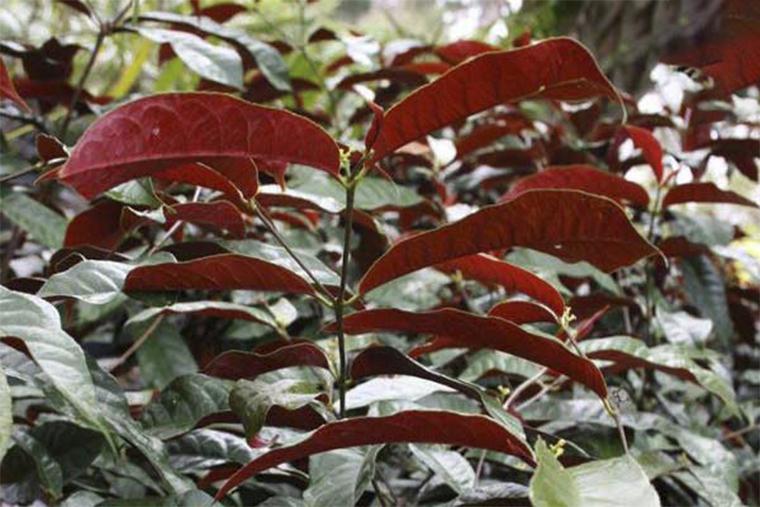 Trị mề đay bằng cây đơn đỏ