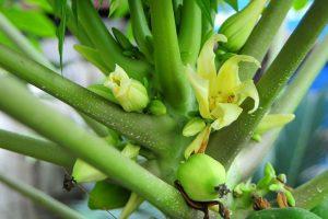 Hoa đu đủ đực trị ho hiệu quả